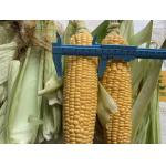 China FDA Certified 100% Fresh Iqf Sweet Corn On The Cobs for sale